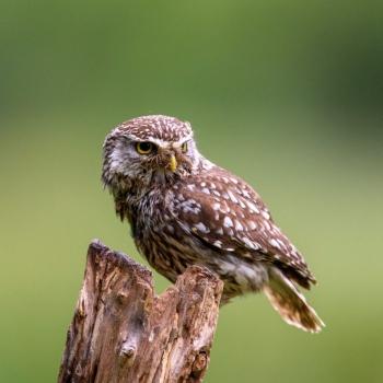 Little Owl Knepp Safari