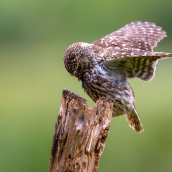 Knepp Little Owl