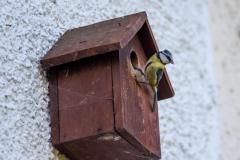 Blue Tit nesting