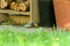 Blue tit fledgling being fed
