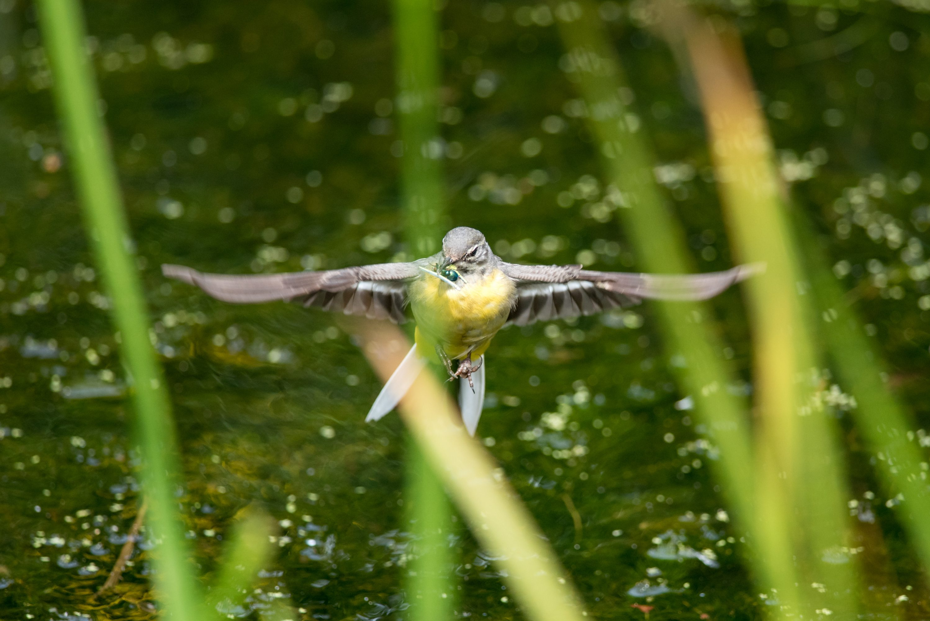 Grey Wagtail hunting on the Wing