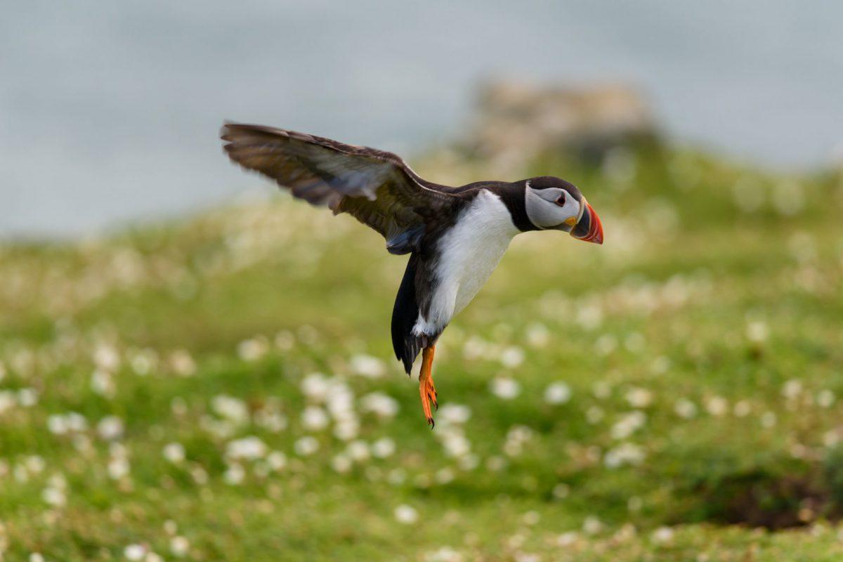 Puffins Landing, The Wick Skomer Island, Skomer Island
