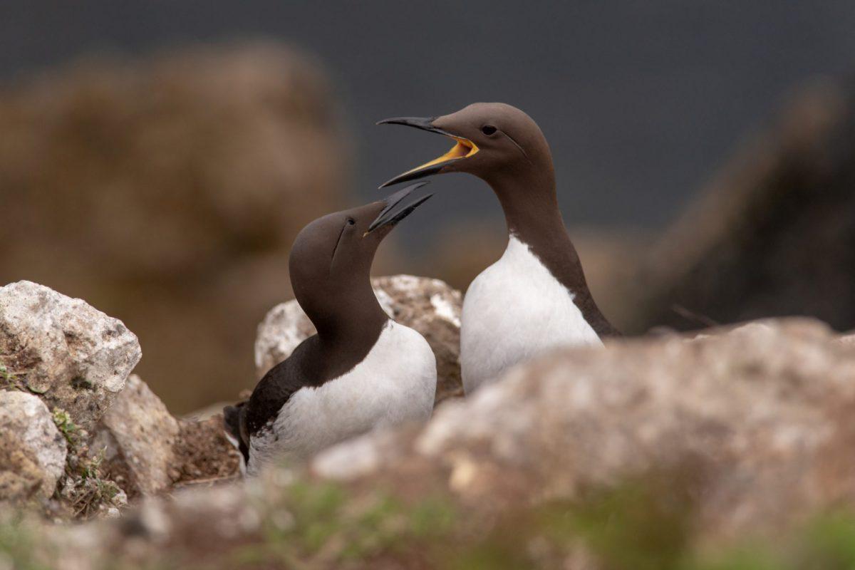 Guillemots Arguing, Guillemots, North Haven Skomer Island, Skomer Island