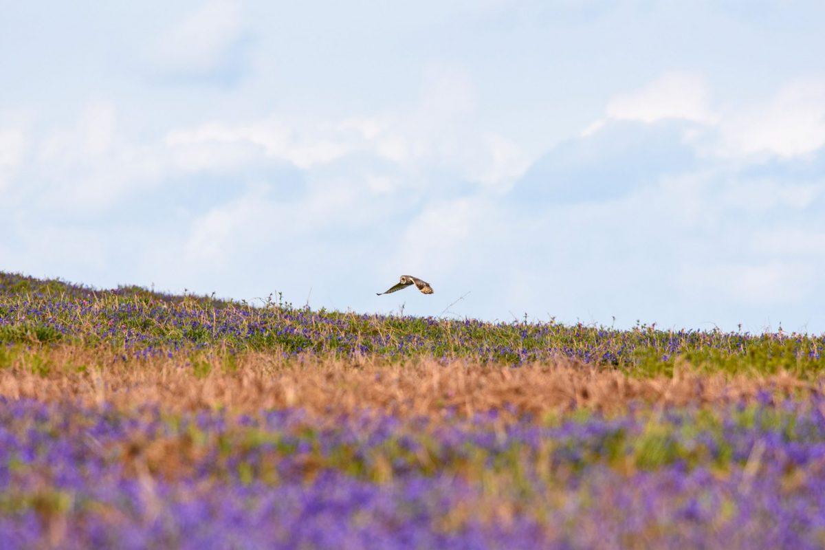 Short Eared Owl, Skomer Island