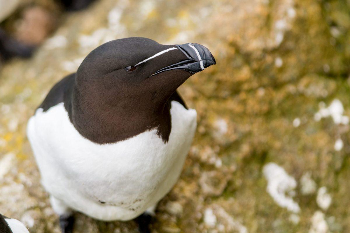 Razorbill, Skomer Island
