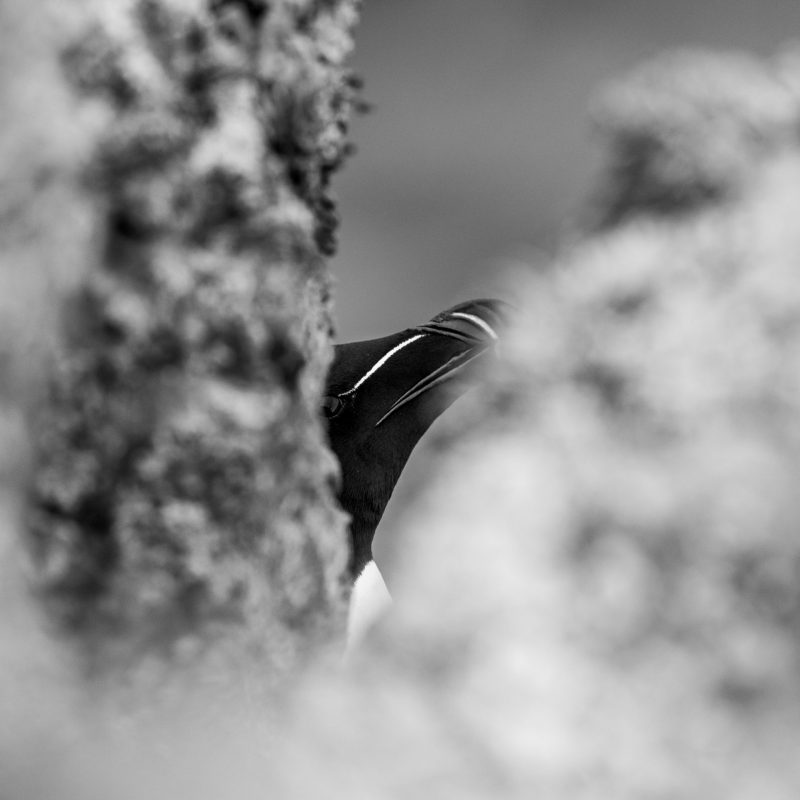 Razorbill Hidinh Photograph for Sale