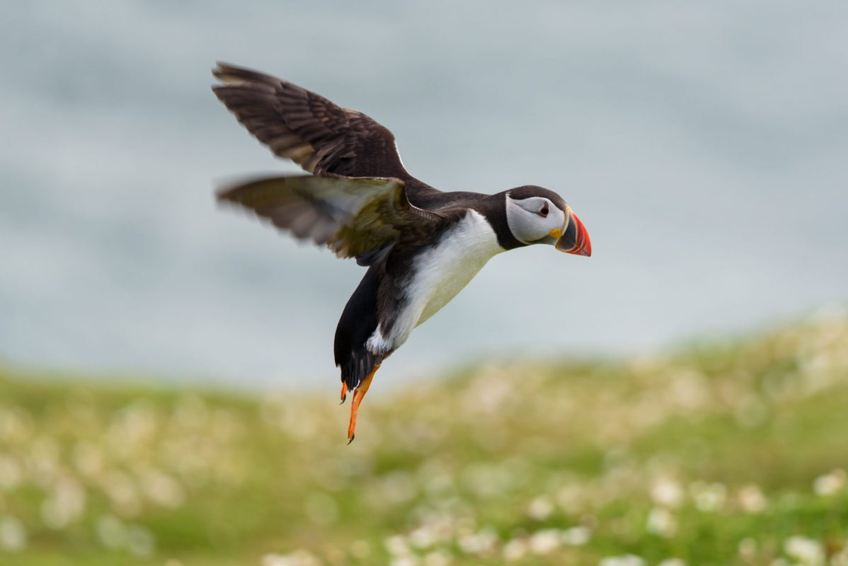 Skomer Island Puffin Coming into land photograph for sale