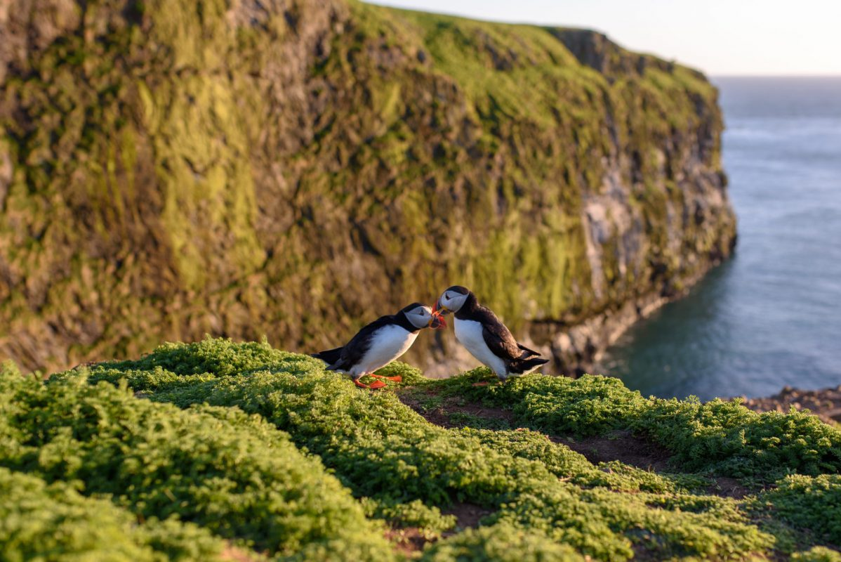 Puffin Couple Billing Skomer Island Photograph for sale