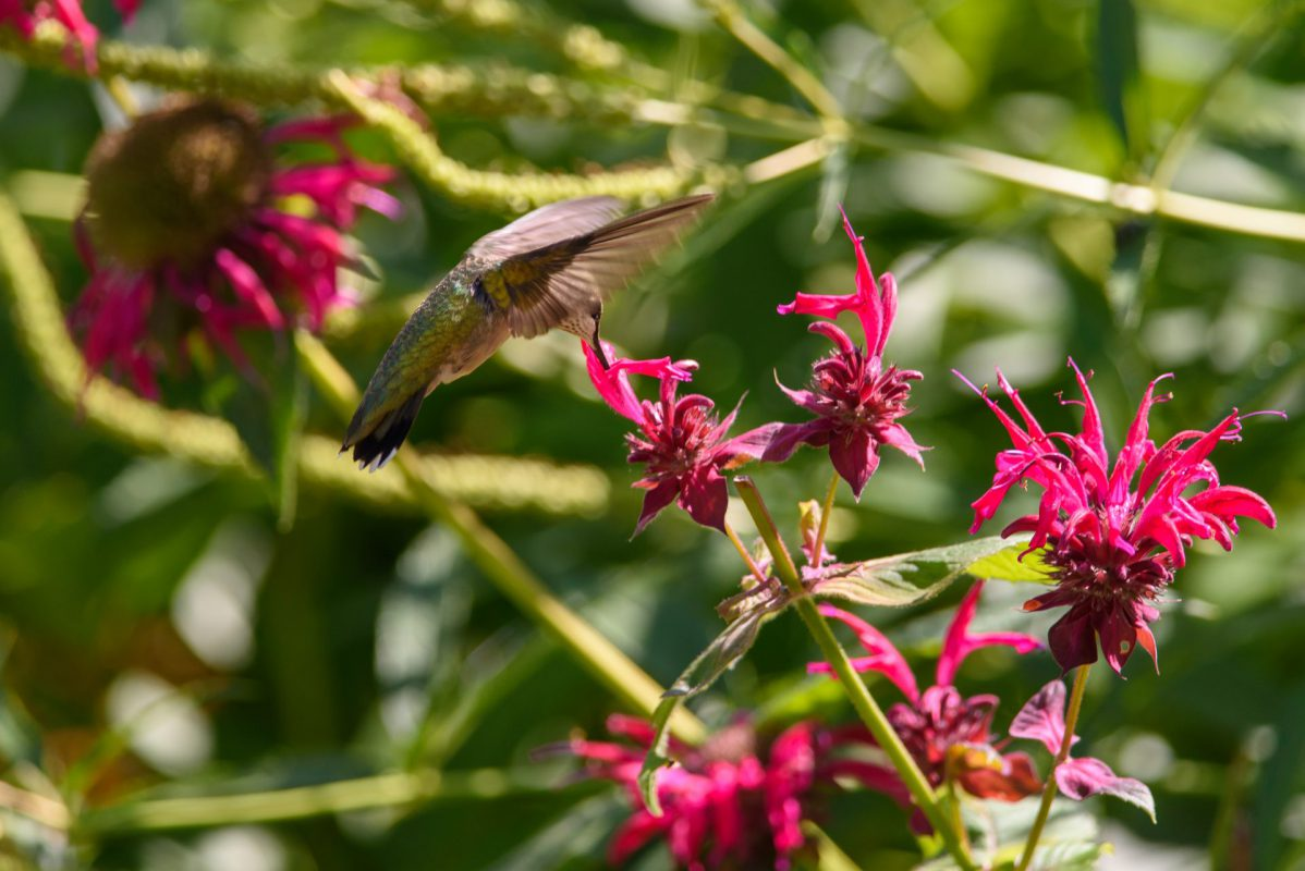 Ruby Throated Hummingbird photograph for sale