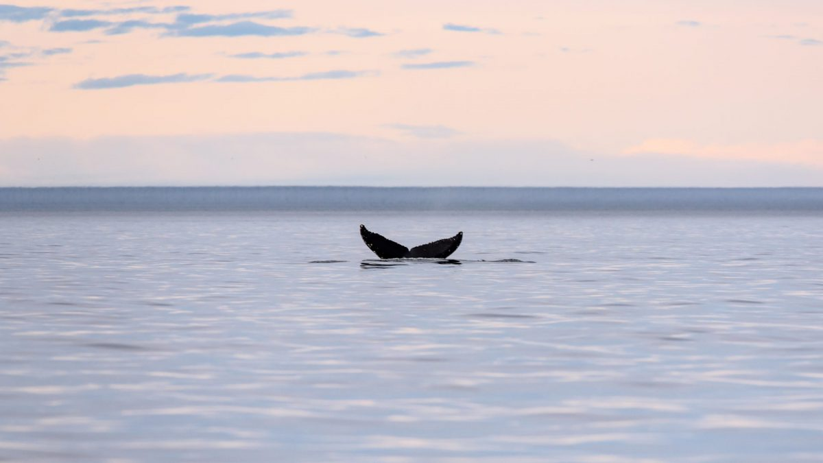 Hump back Whale Breach photograph for sale