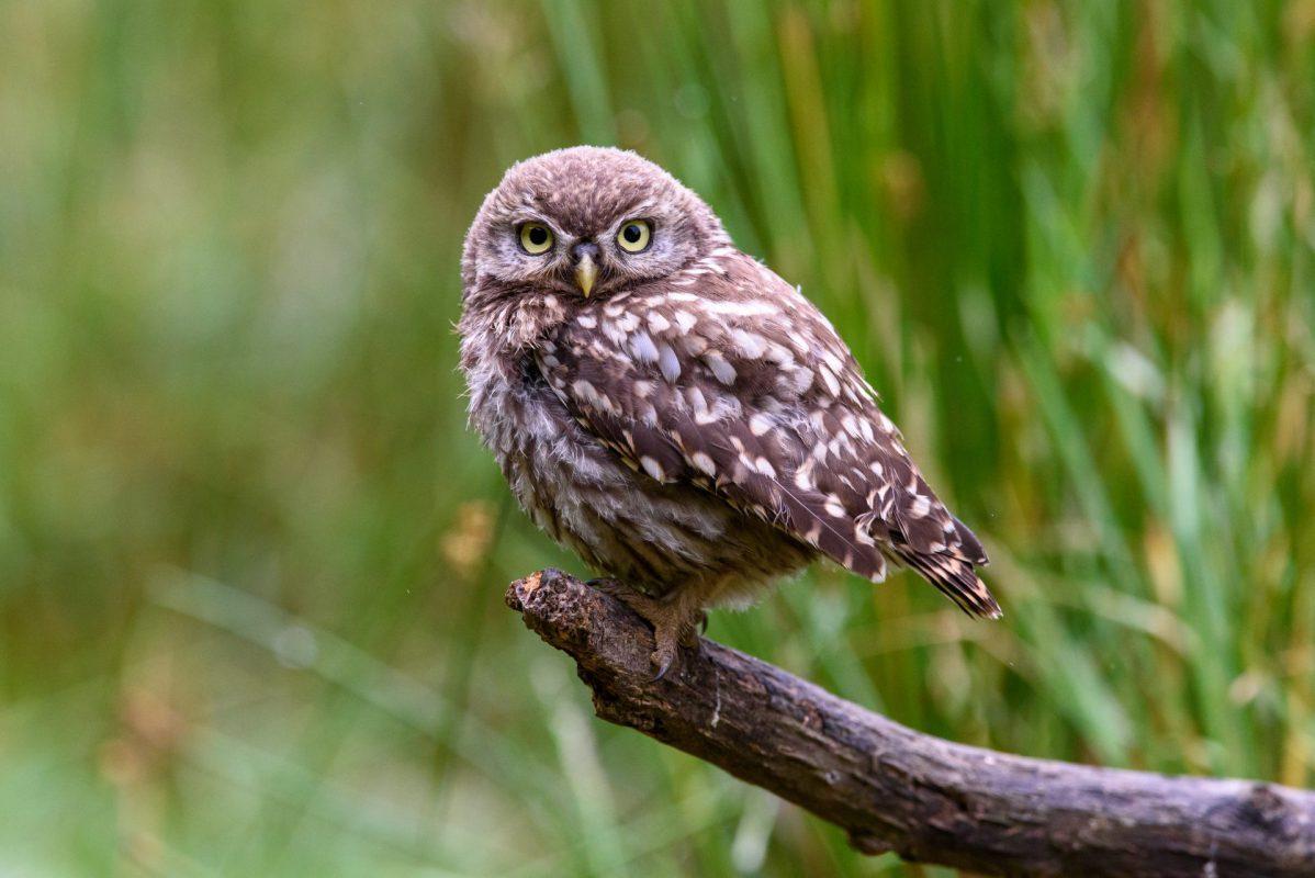 Juvenile Little Owl Photograph for sale