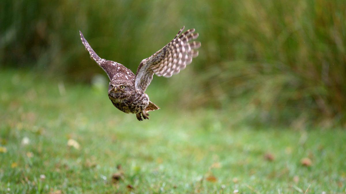 Little Owl in Flight Knepp