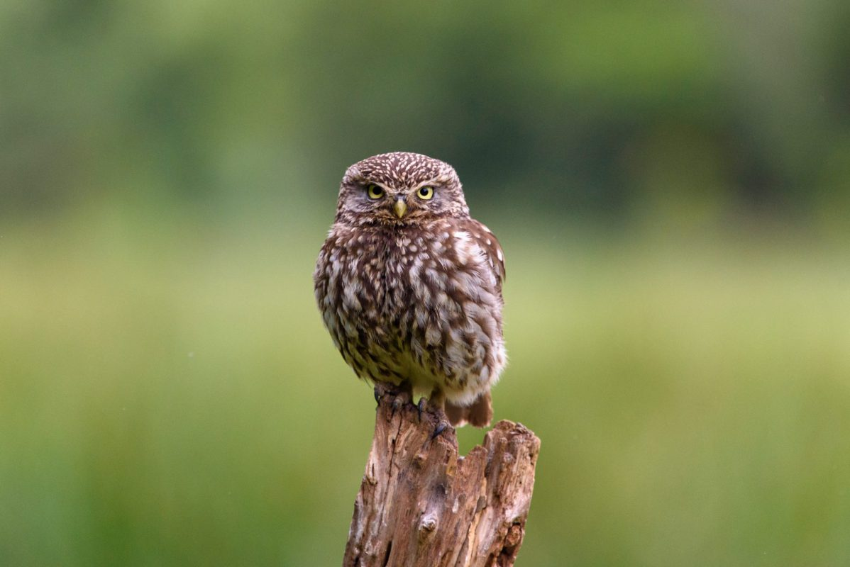 Little Owl Photograph for sale