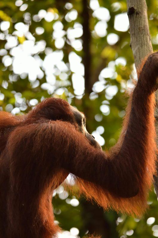 Bornean Orangutan Photograph for sale